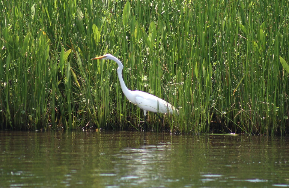 Find more about the bird of Louisiana with our bayou tours in New Orleans. Book online today!